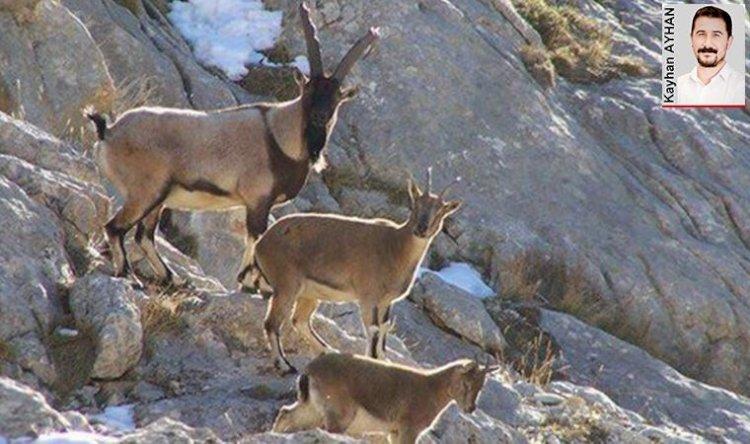 Erzincan'daki yaban keçileri de kurtuldu