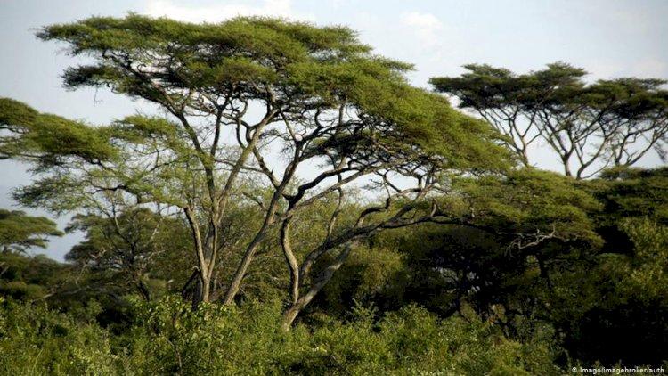 Etiyopya'da ağaç dikme rekoru